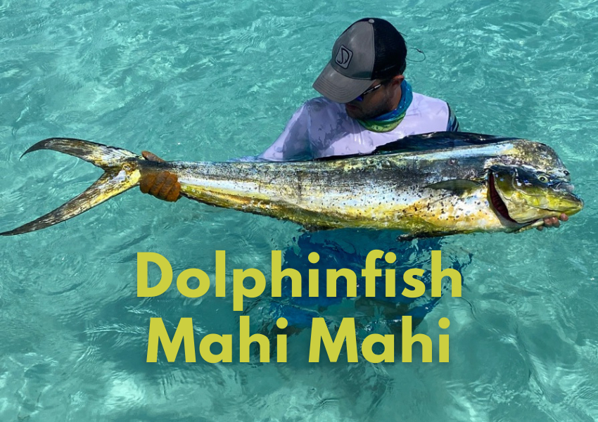 dolphinfish fishing